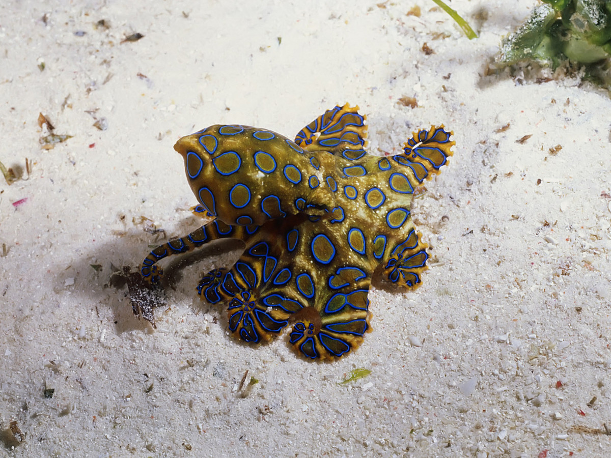Blue Ringed Octopus can kill a person with one bite.