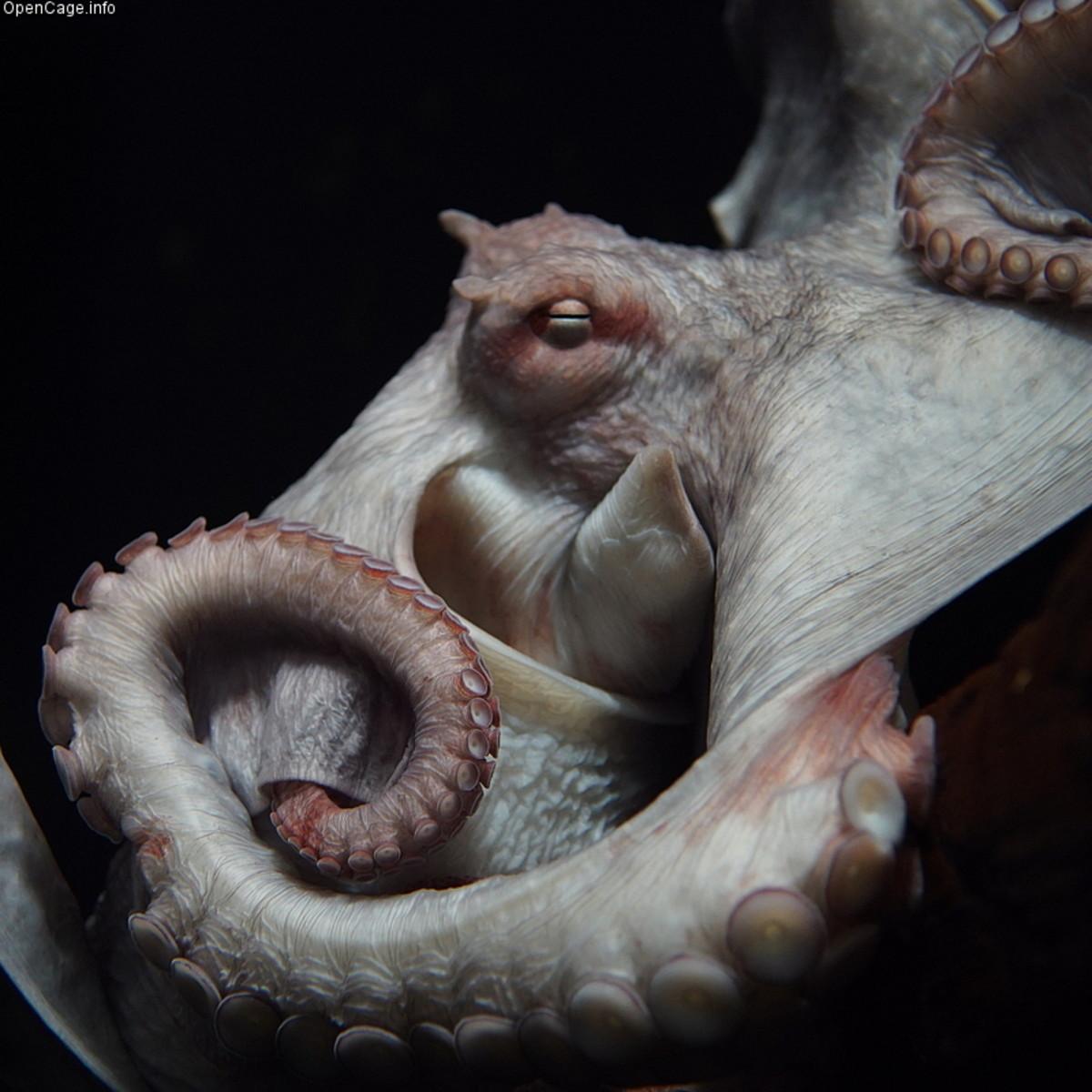 North Pacific Giant Octopus Enteroctopus dofleini