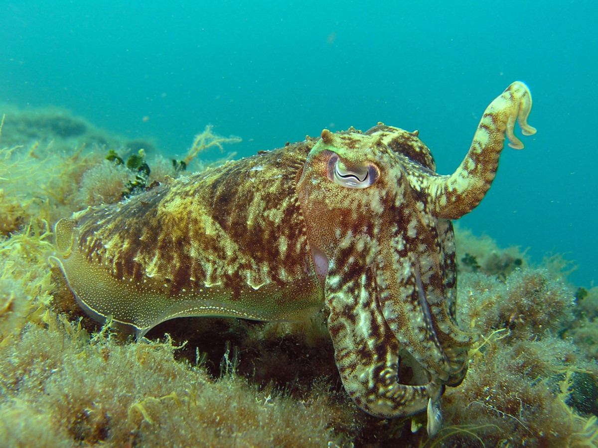 Camouflaged squid resting near seabed