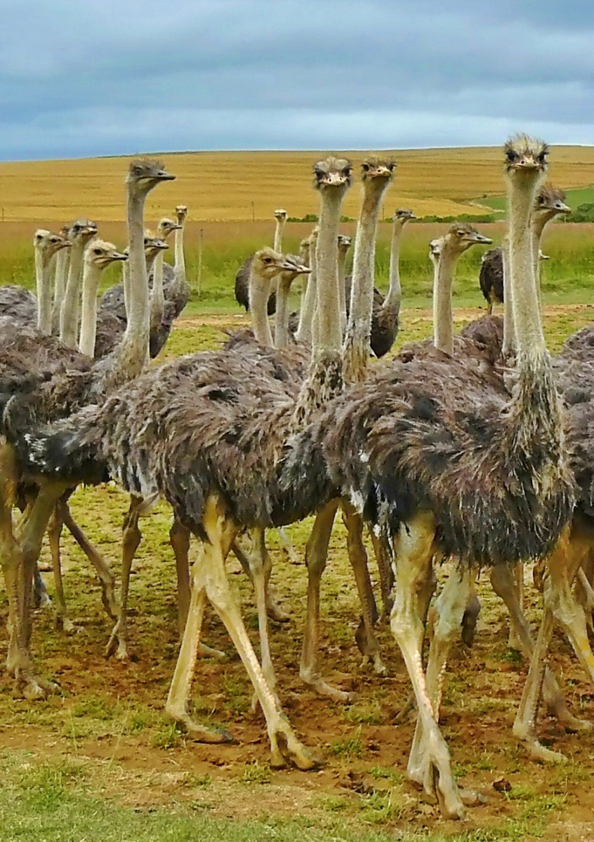 Ostriches have a lot in common with Theropods