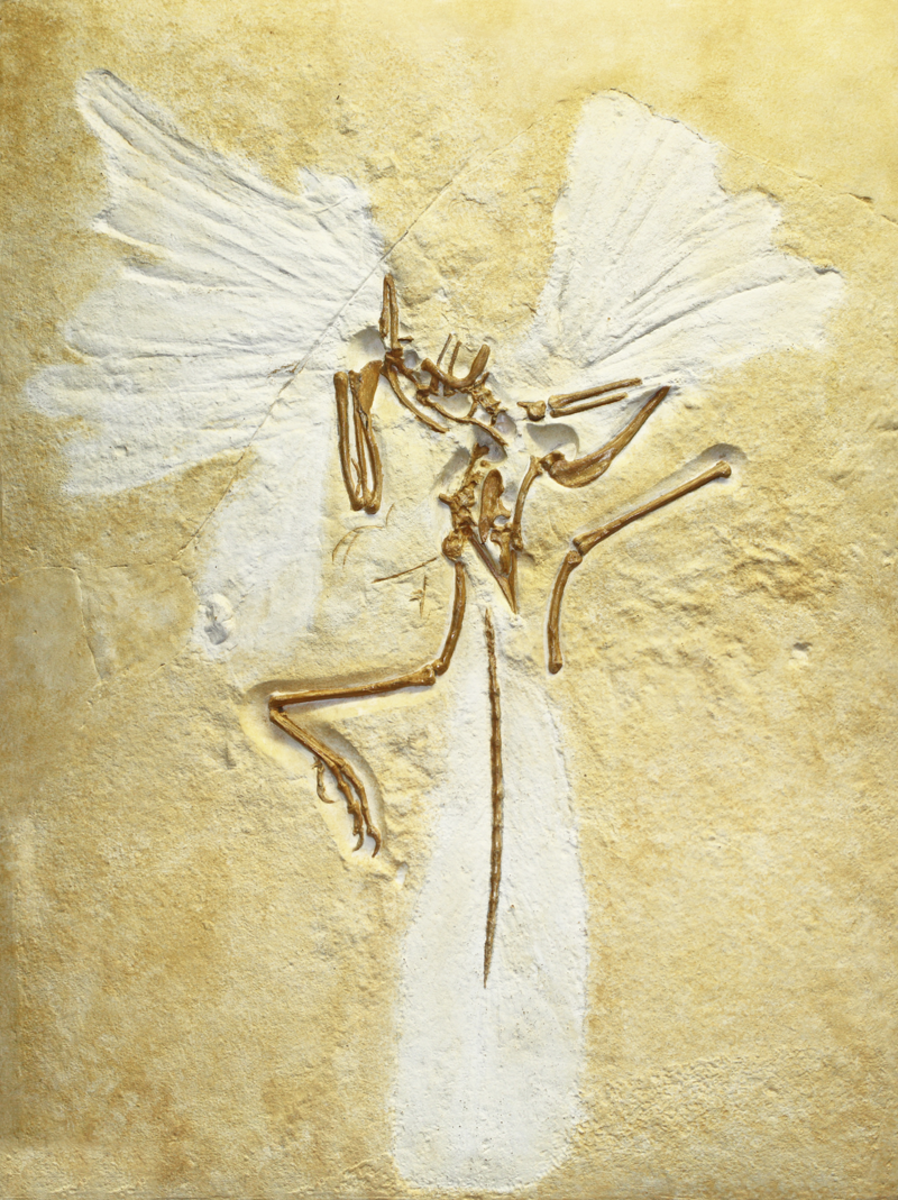 Archaeopteryx fossil showing plumage