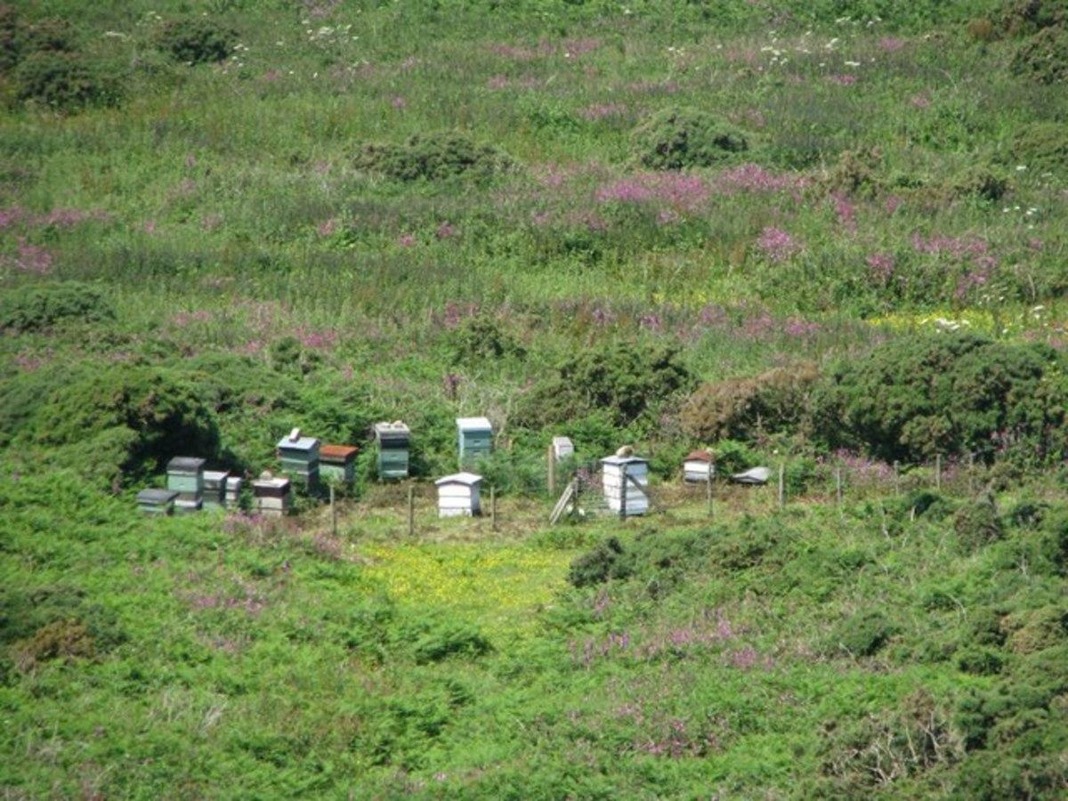 Beehives in the heather below Trevalgan Hill.