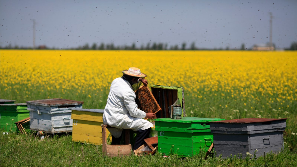 Bees are rented out to farmers for pollination.  Here a keeper is setting up an operation.