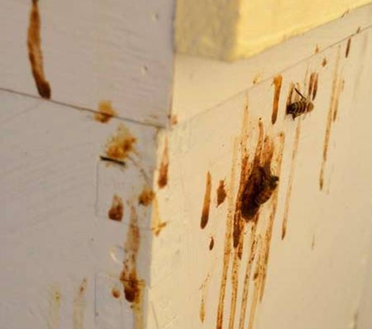 Brown streaks on the entrance to your hive may mean your bees have dysentery or nosema.