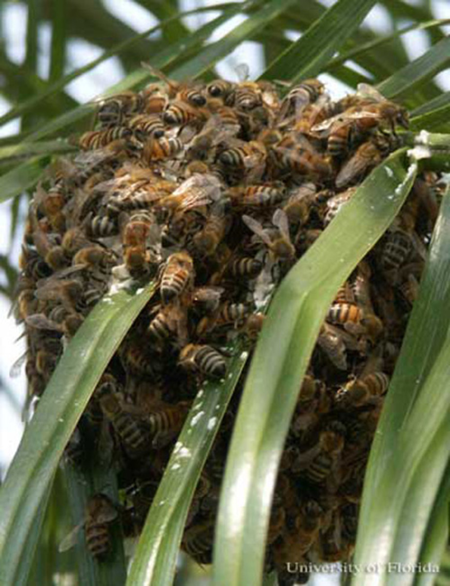 Killer Bees in a Swarm