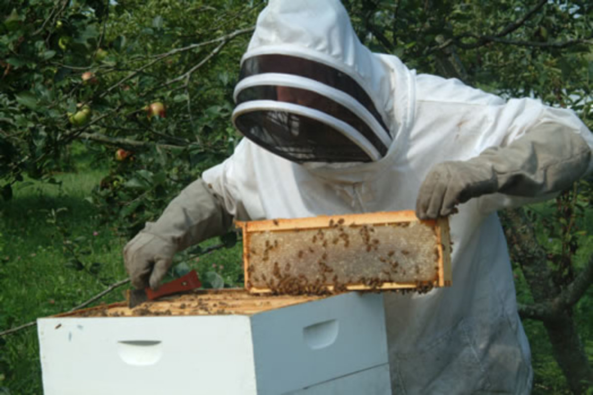 A beekeeper in protective clothing checking on a hive