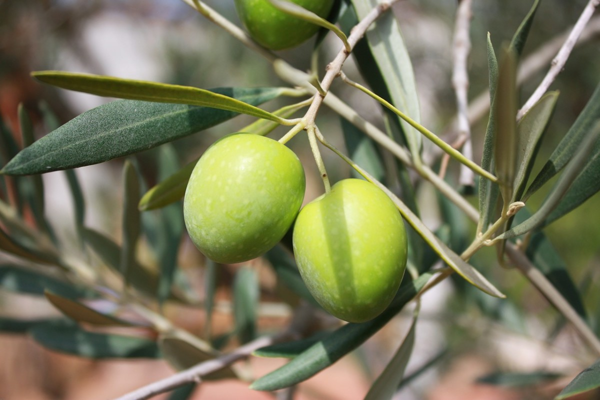 The olive plant has practical usages for nearly every part of it.