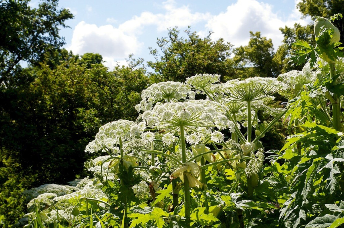 Giant hogweed is an impressive but dangerous plant. It's a biennial or a perennial.