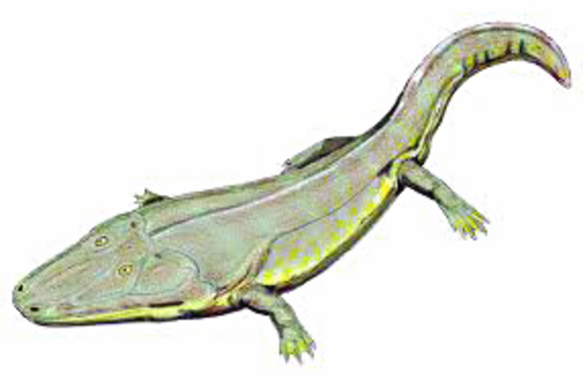 A modern day interpretation of a Labrinthodont, some species of which grew to an enormous 3-4 metres in length