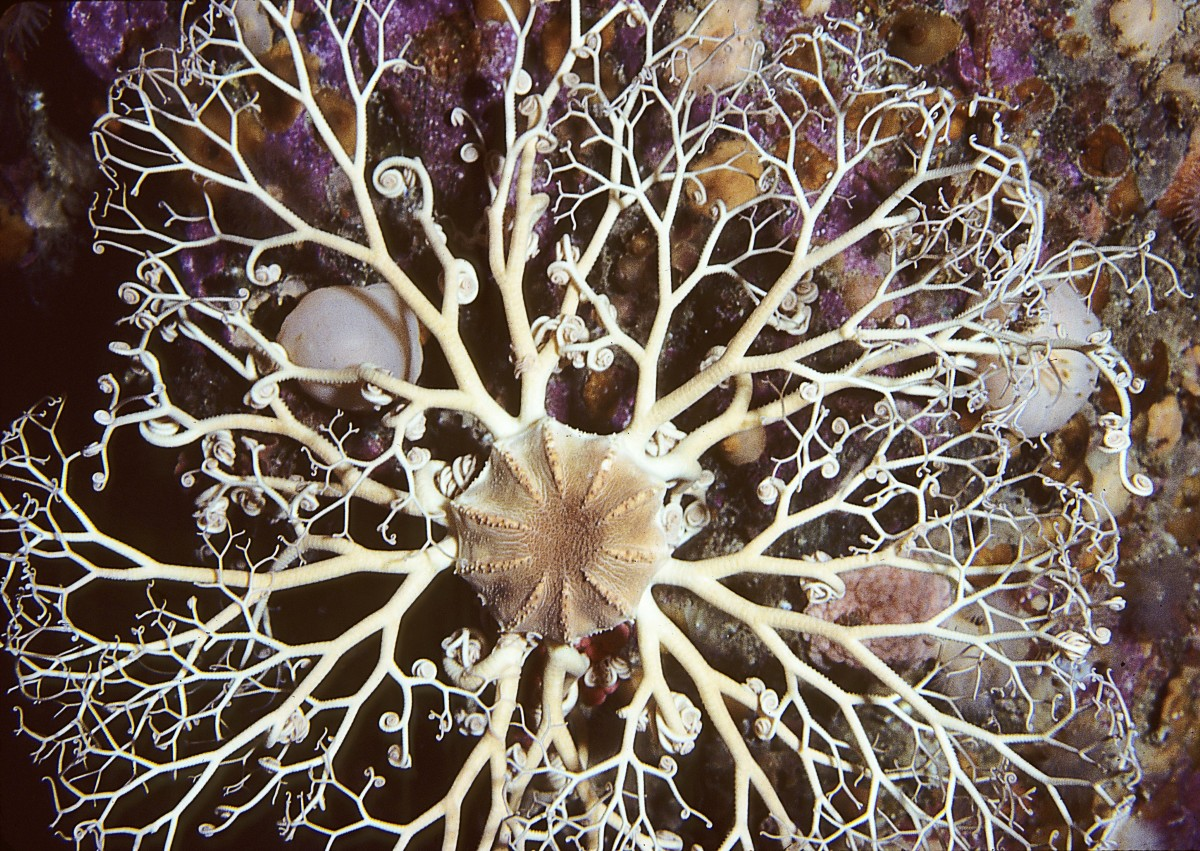 A top view of a Northern basket star (not from the Mariana Trench) showing the appearance of a single individual