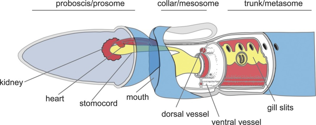 Basic anatomy of an acorn worm; the animal has no eyes or other specialized sense organs but it does have receptors that can detect light and chemicals