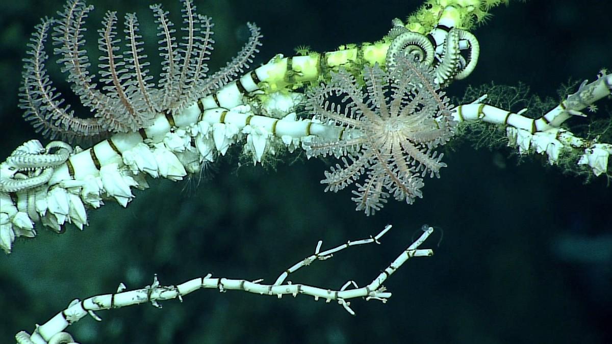 Novodinia, a brisingid sea star, on top of dead bamboo coral