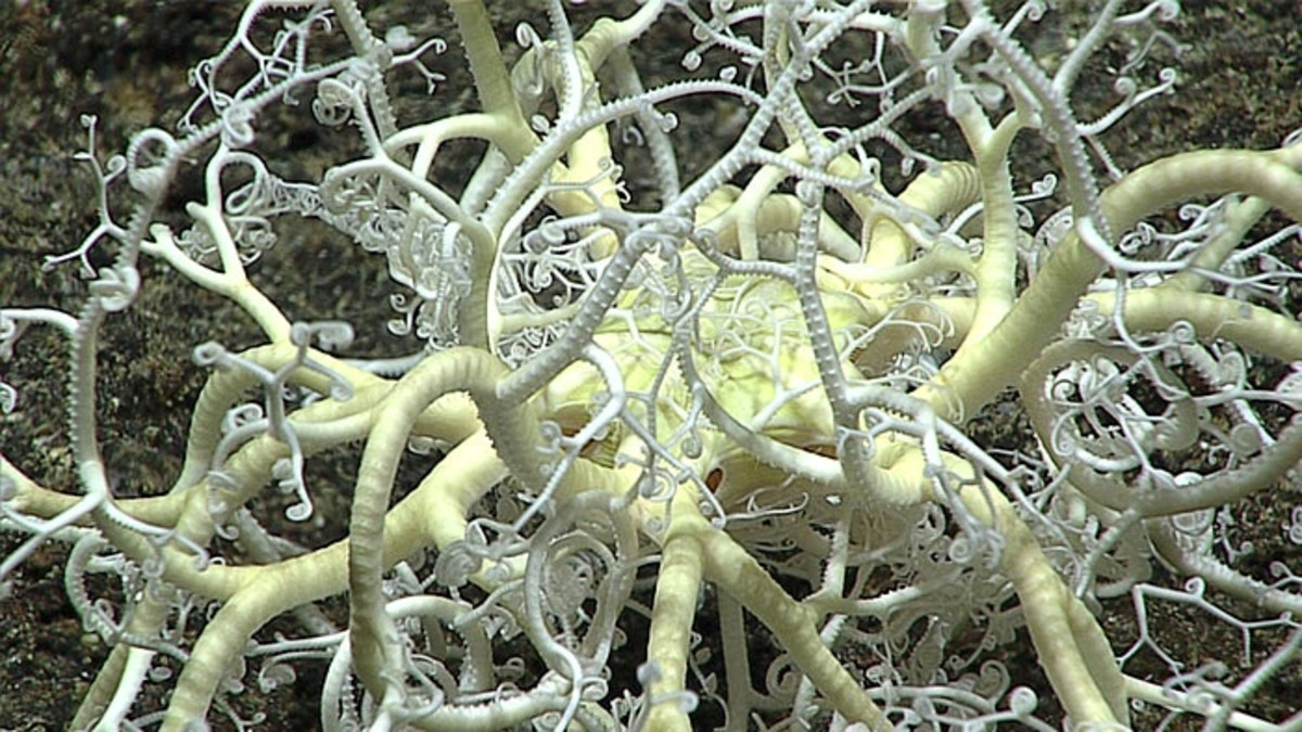 A basket star; according to NOAA, there is more than one creature in this intriguing photograph