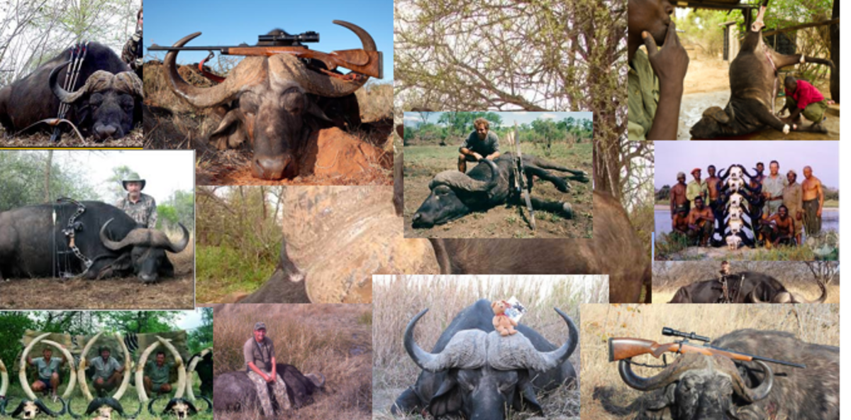Proud hunters:  killing the magnificent Cape Buffalo is apparently a sought after experience.