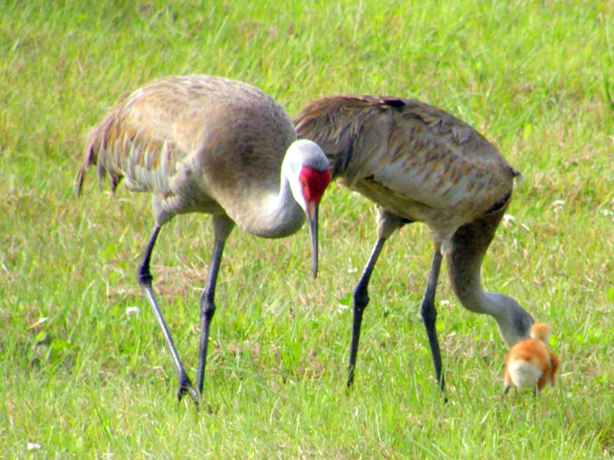 It was such a treat to see this Sand Hill Crane family with their baby chick.