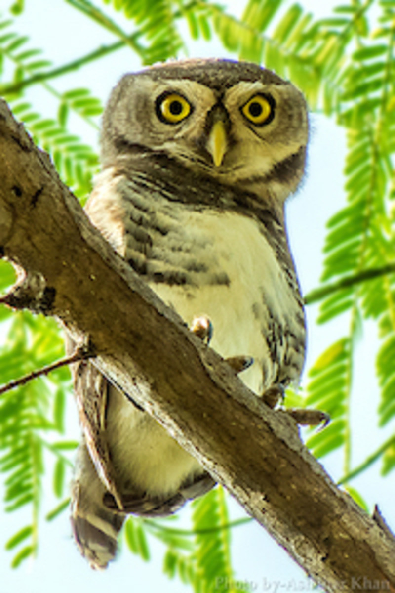Forest Owlet, Heteroglaux blewitti