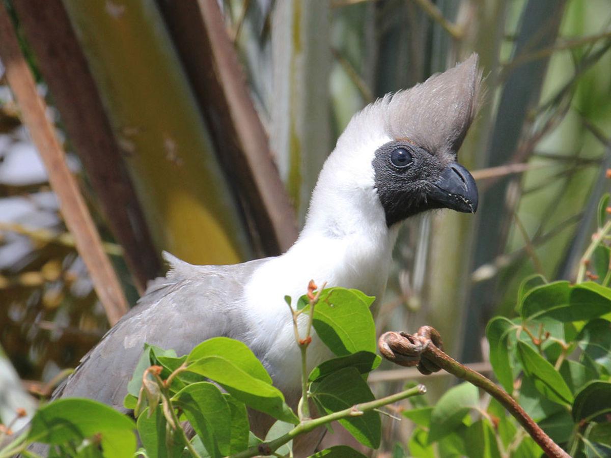 Bare-Faced Go-Away-Bird, Corythaixoides personatus