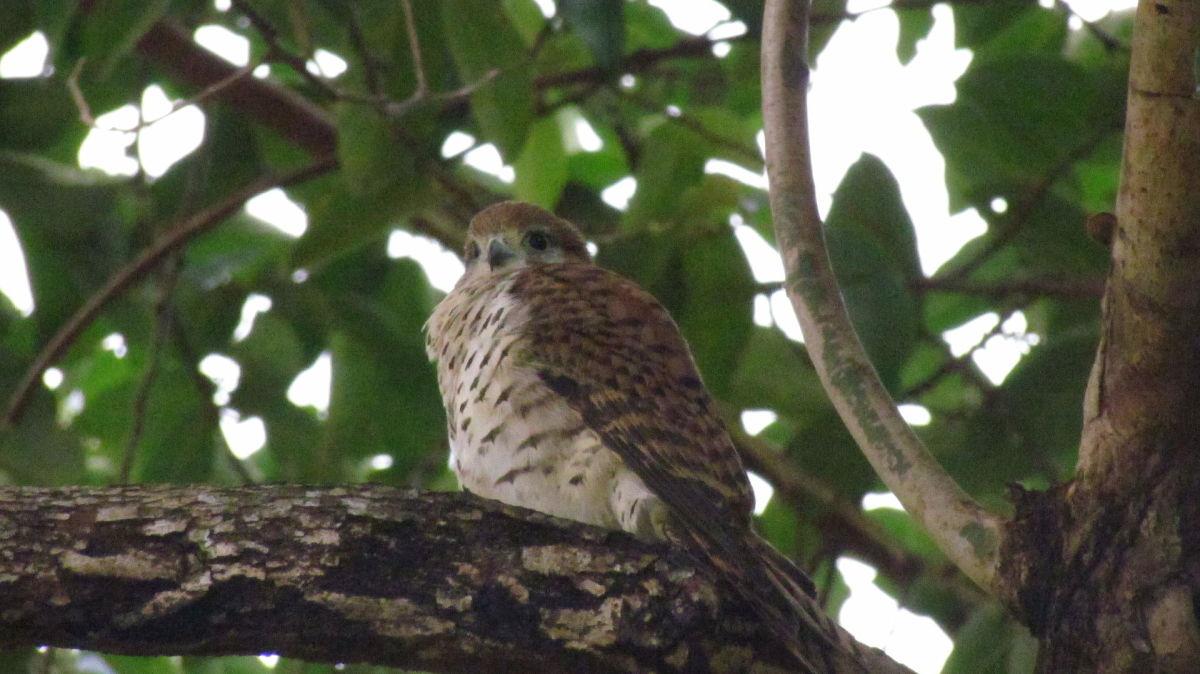 Mauritius Kestrel, Falco punctatus