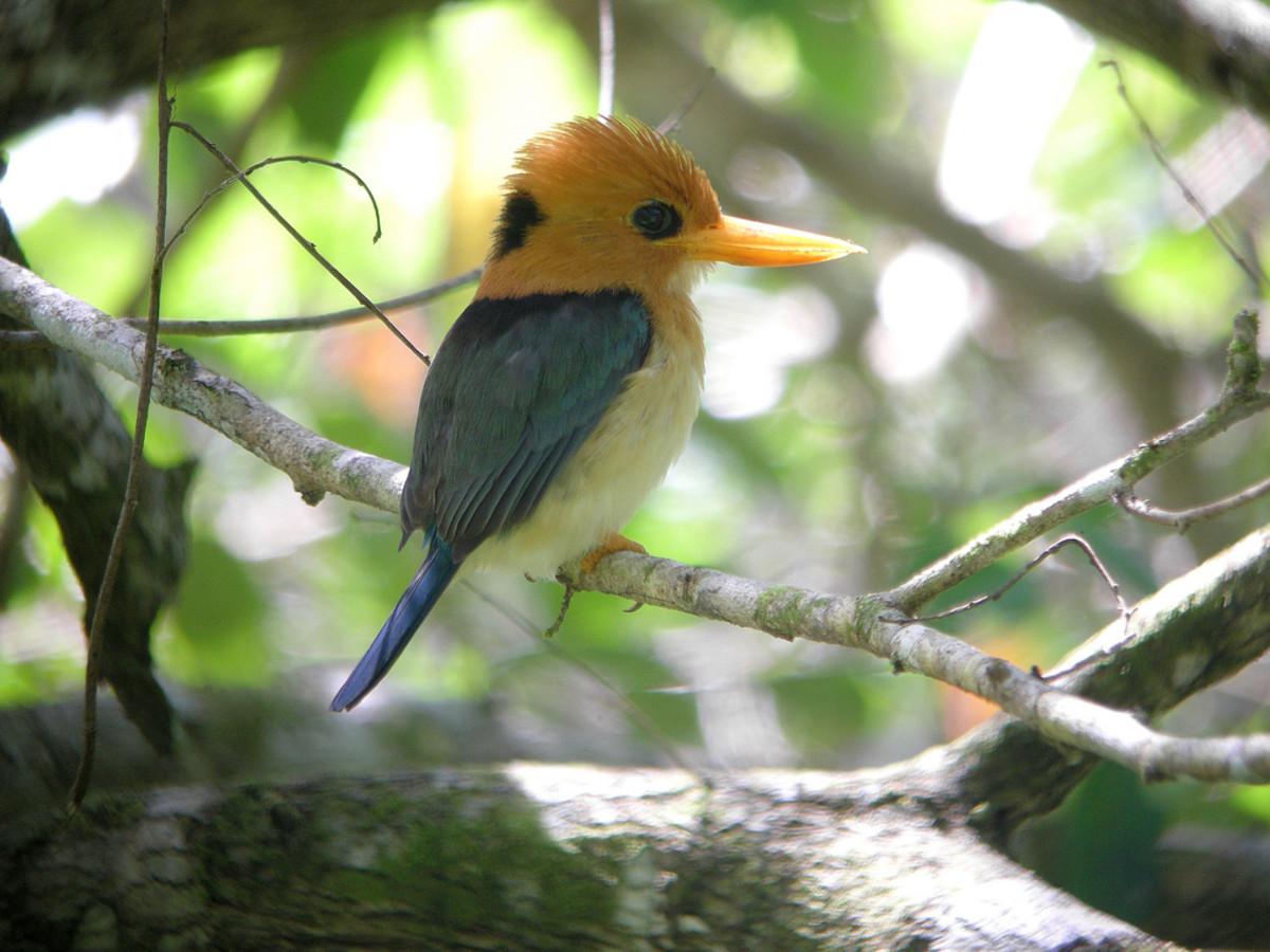Yellow-billed Kingfisher, Syma torotoro