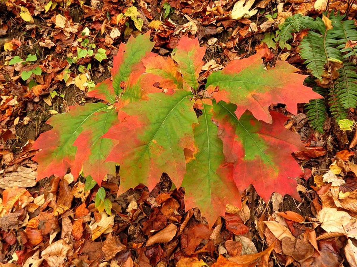 A young oak tree