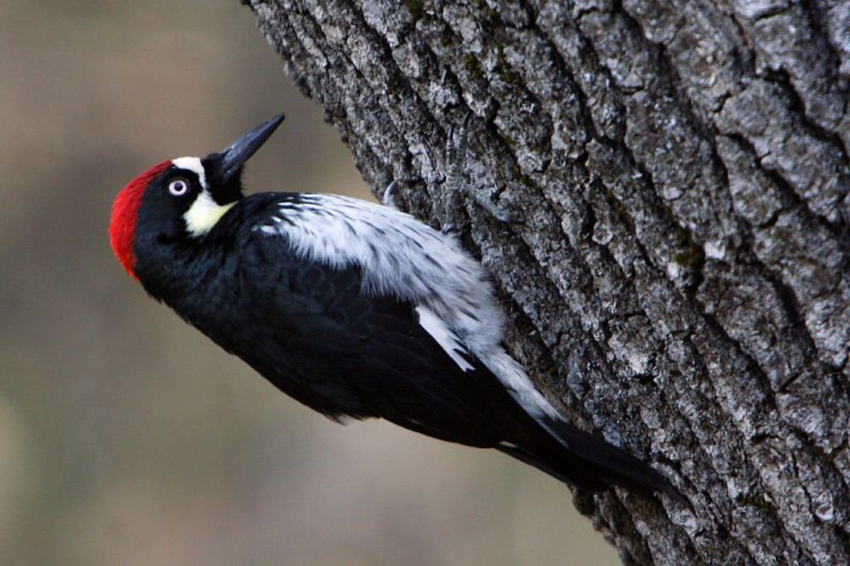 An acorn woodpecker looks for food on a black oak tree.