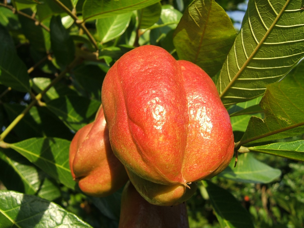 These ackee fruits haven't opened up and are therefore unripe and dangerous to eat.