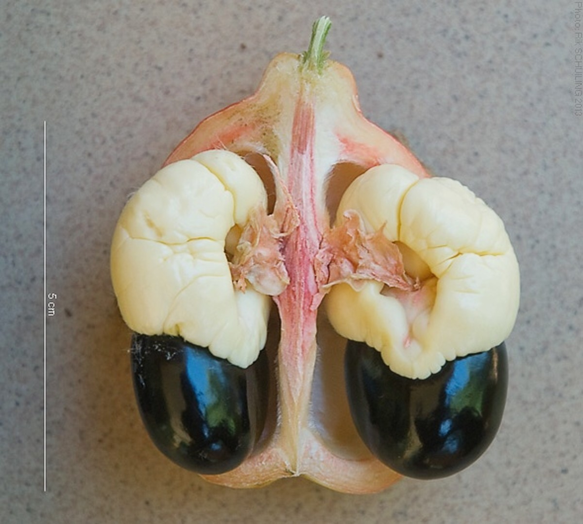 The dark seeds and the pink membrane must be removed before the aril is cooked.