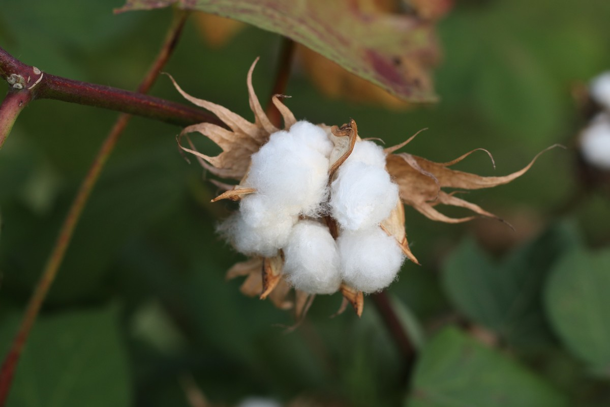 An open cotton boll