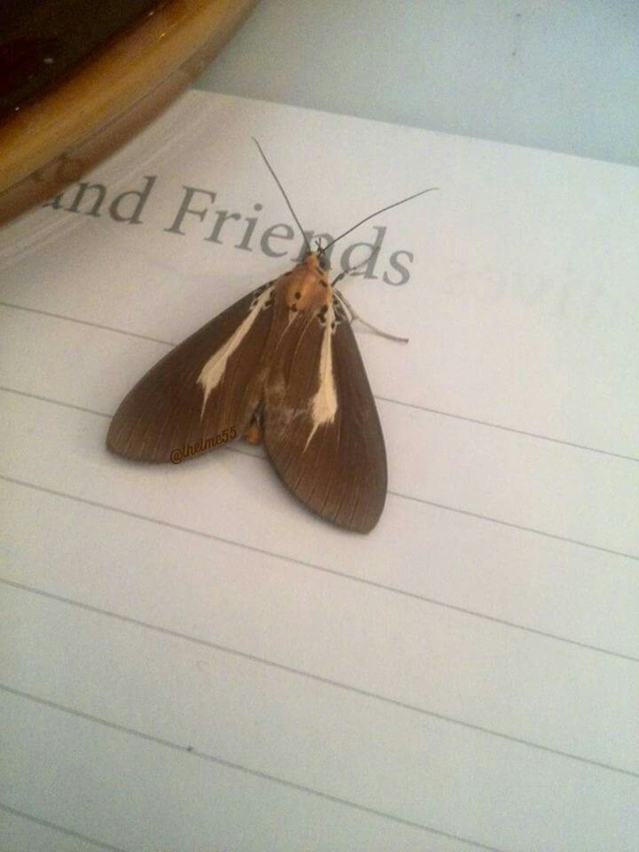 A beautiful  moth who was near the casket almost every night during and after the 9 days prayer at home. It this photo, the moth landed on the guest  book near the Abuloy pot.