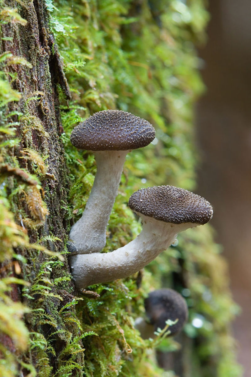 Honey fungus fruiting body growing from tree trunk Armillaria sp Marriott