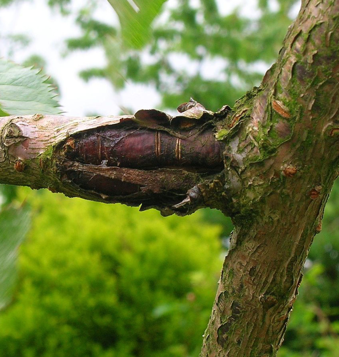 Canker caused by bacteria on a cherry tree.