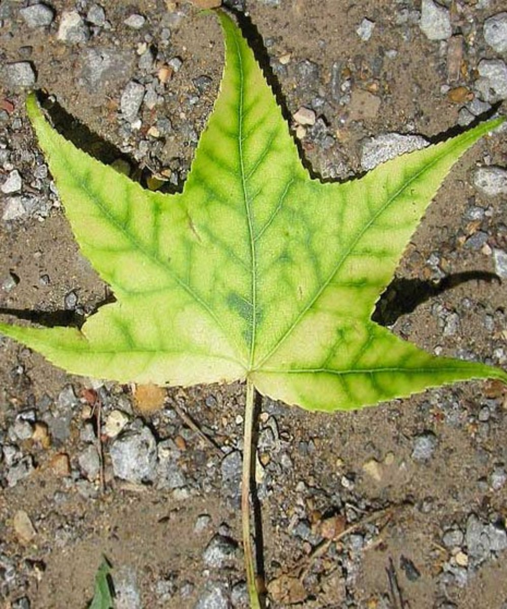 Iron deficiency in a sweetgum tree.