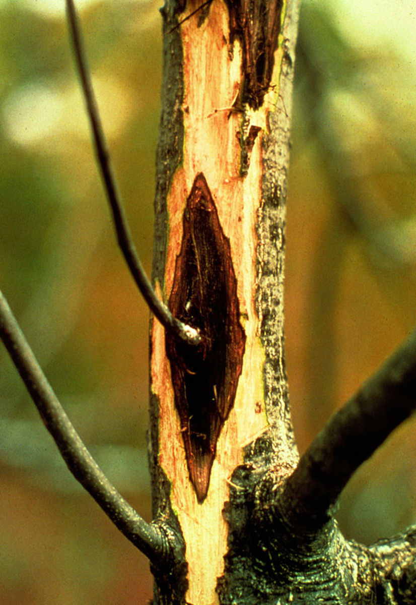 Butternut canker caused by a microscopic fungus is killing many tree in North America.