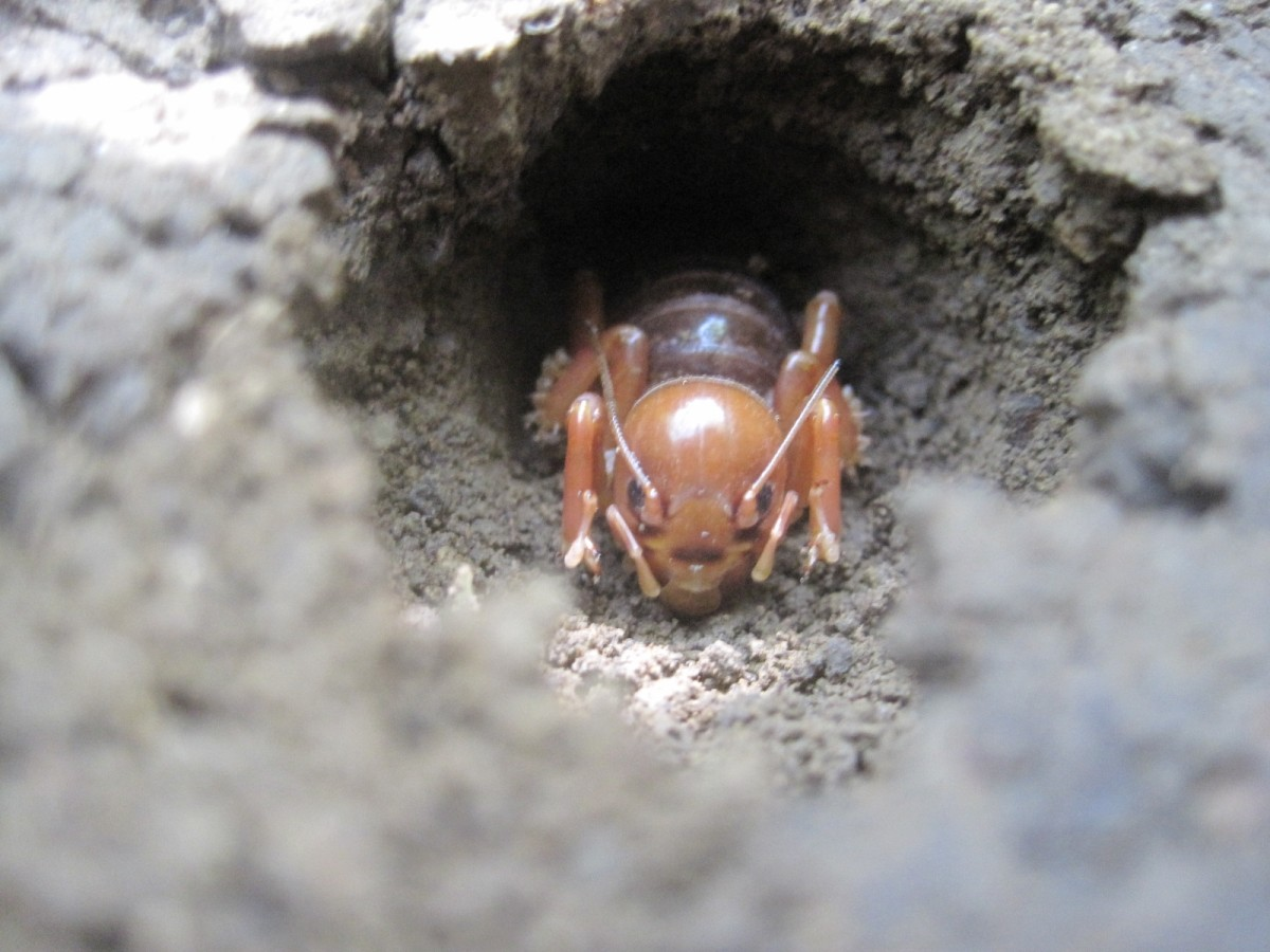 The Jerusalem cricket spends most of its time underground, so you may never have the chance to see one.  The photographer caught this one emerging from the hole he had burrowed in the ground. They usually come out when it's dark.