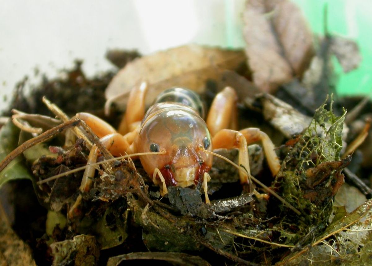 This Jerusalem cricket appears to be right at home, and happy to be there, making terrariums a suitable place to keep them out of harm's way and away from predators.