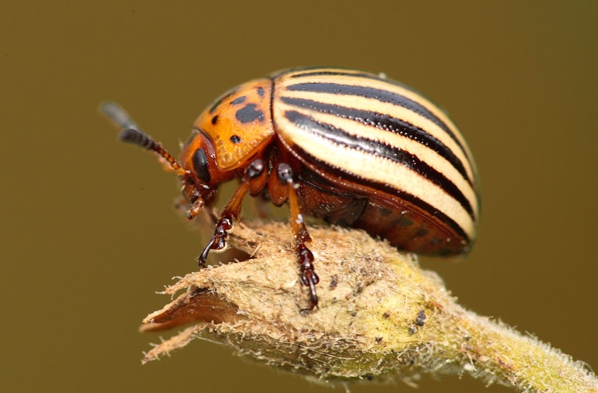 This is not a potato bug.  It is a potato beetle, but is often called the same thing as a Jerusalem cricket.  These beetles are true pests, as they destroy thousands of potato plants annually.