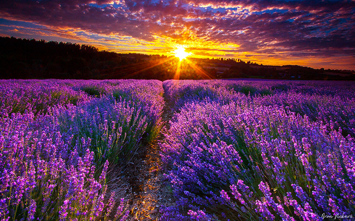 Whoever planted this gorgeous field of lavender is probably not worried about mosquitoes.