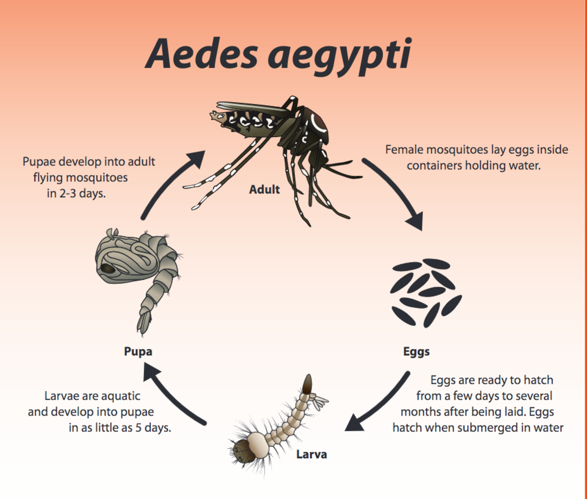 Just in case you are one of the unlucky ones they love, this chart should reveal one of the ways you can prevent mosquitoes from laying their eggs in standing water around your home:  Simply make sure there isn't any.