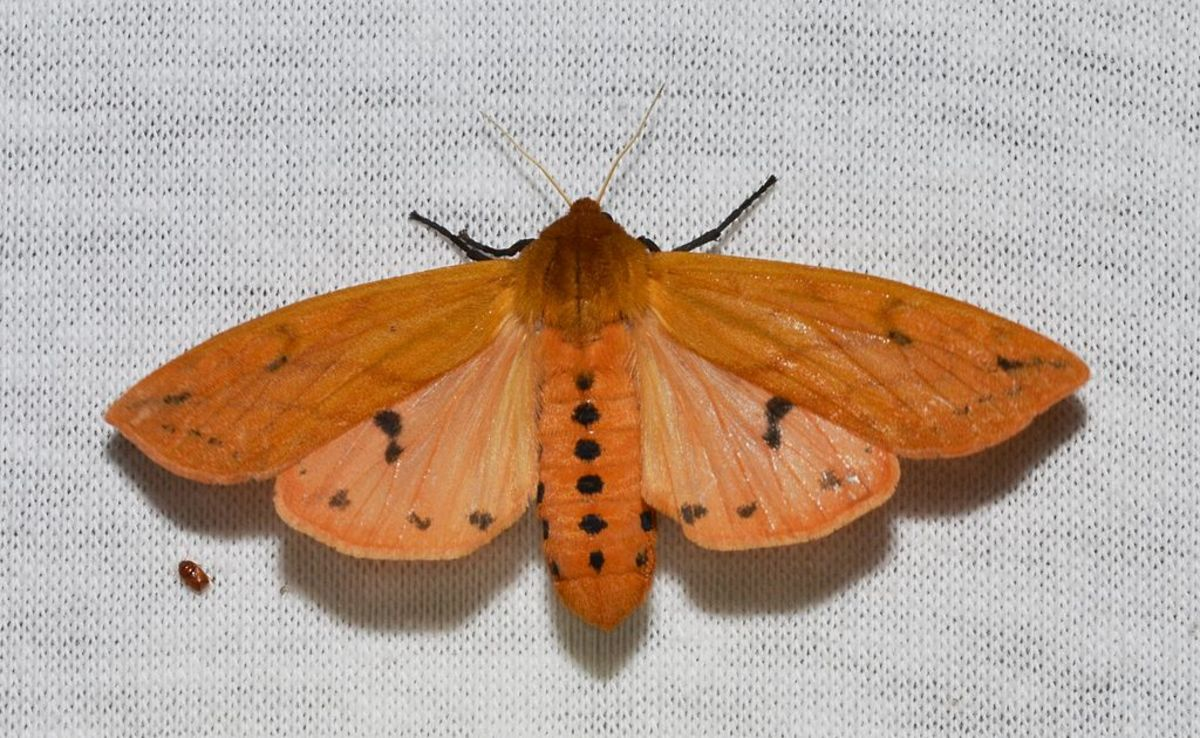 Isabella Tiger Moth.  Note the parallel rows of dots on the abdomen.