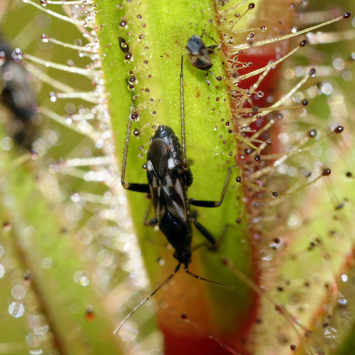 The dewy leaves of roridula provide captured insects for the assassin bug Pameridea