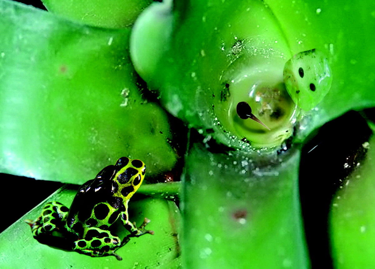 Male poison dart frogs use bromeliad pools as nursery grounds for their tadpoles
