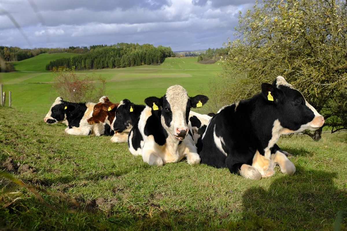 Cows lie down when it's cooler to conserve body heat. Cooler temperatures usually mean lower atmospheric pressure, indicating rain may be on the way.