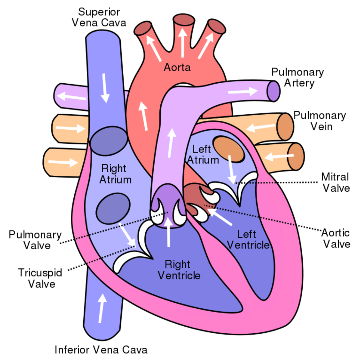 Blood flow in the heart (The right and left sides of the heart are identified from the owner's point of view.)