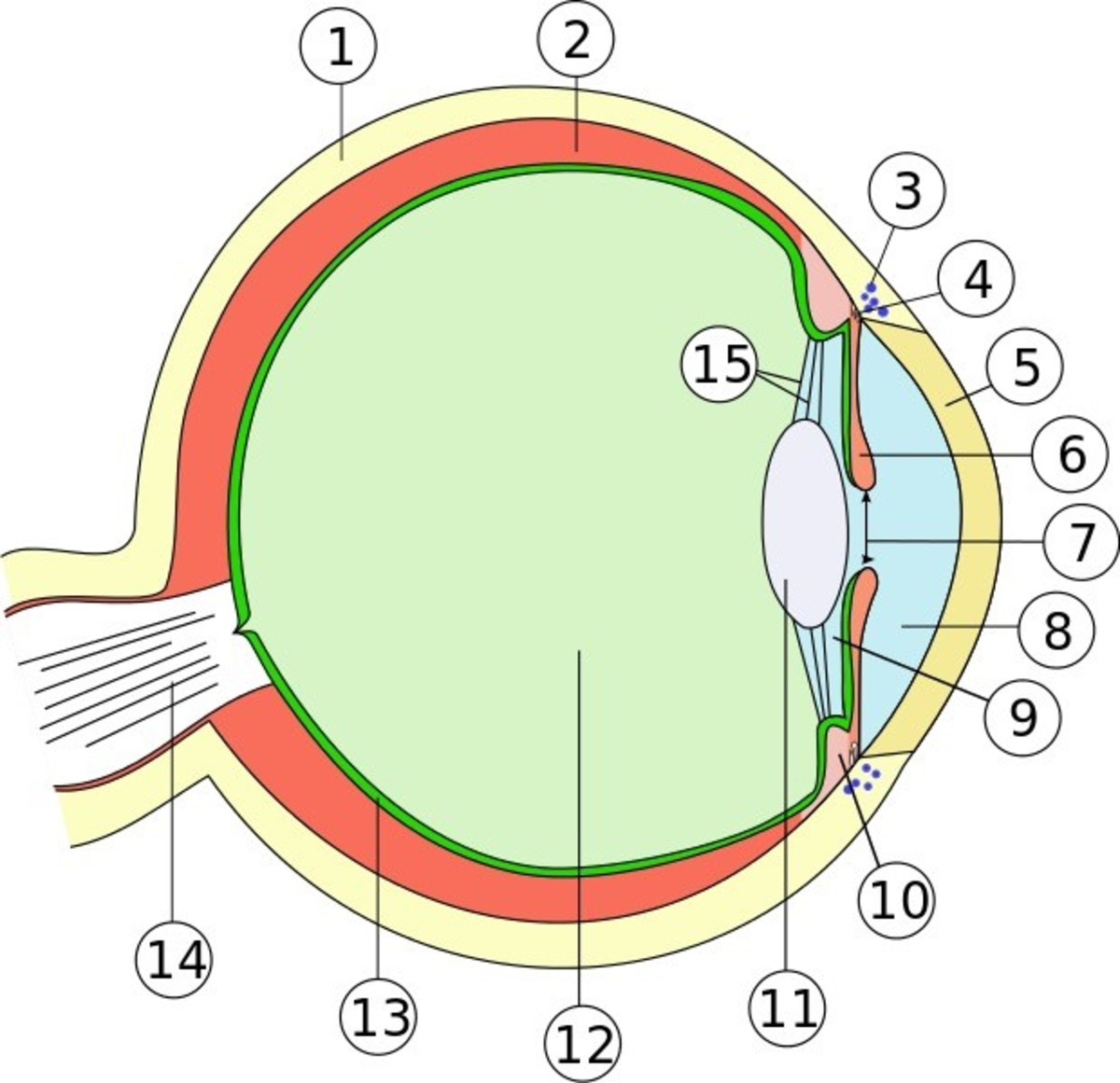 Glaucoma eye biology nerve damage and recent research owlcation internal anatomy of the eye ccuart Gallery