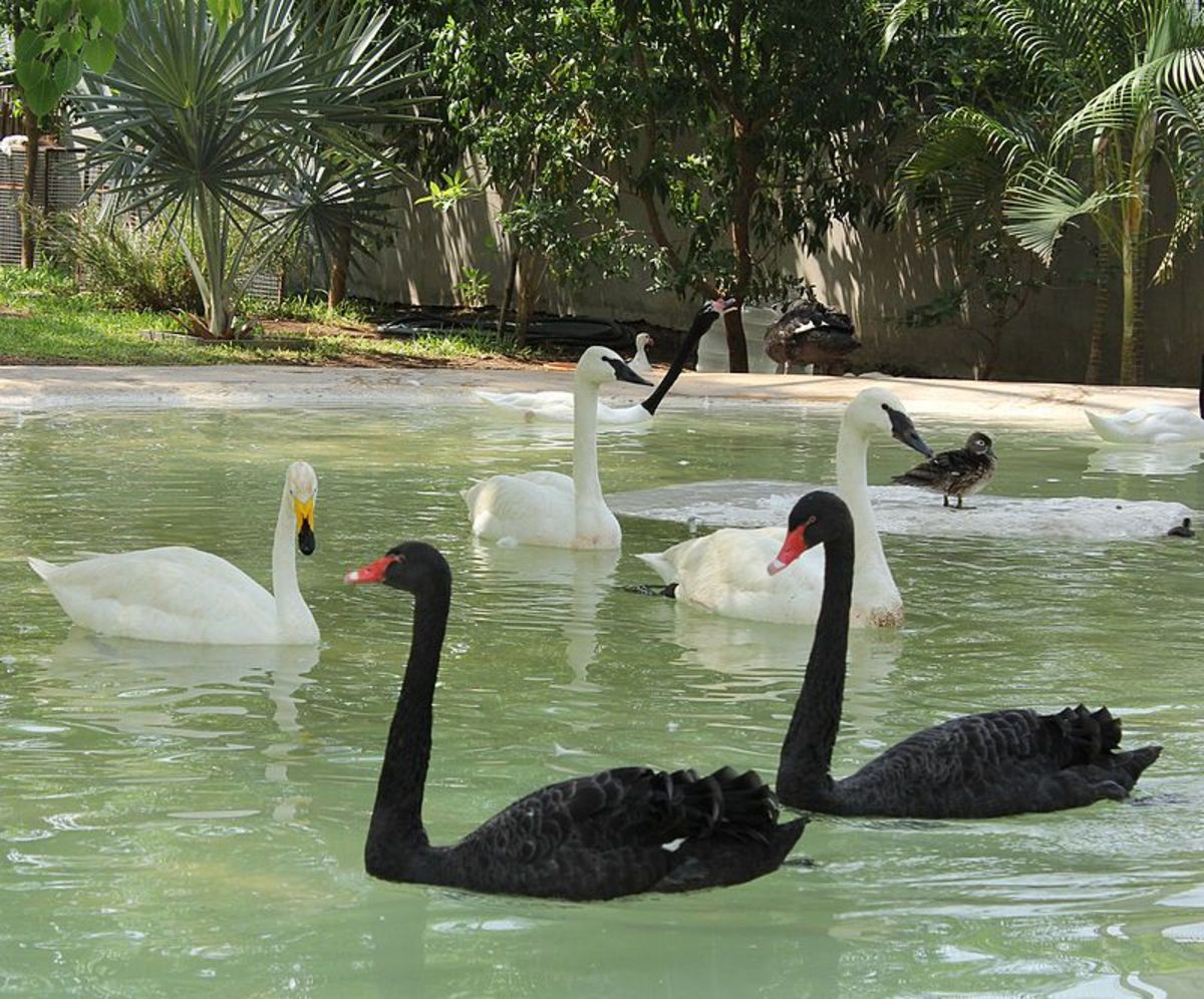 facts-of-the-black-swan