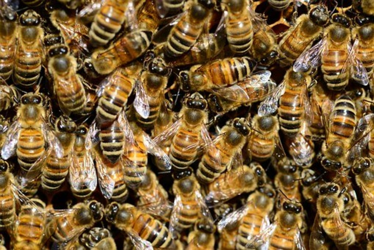 Bees waiting to protect their queen.