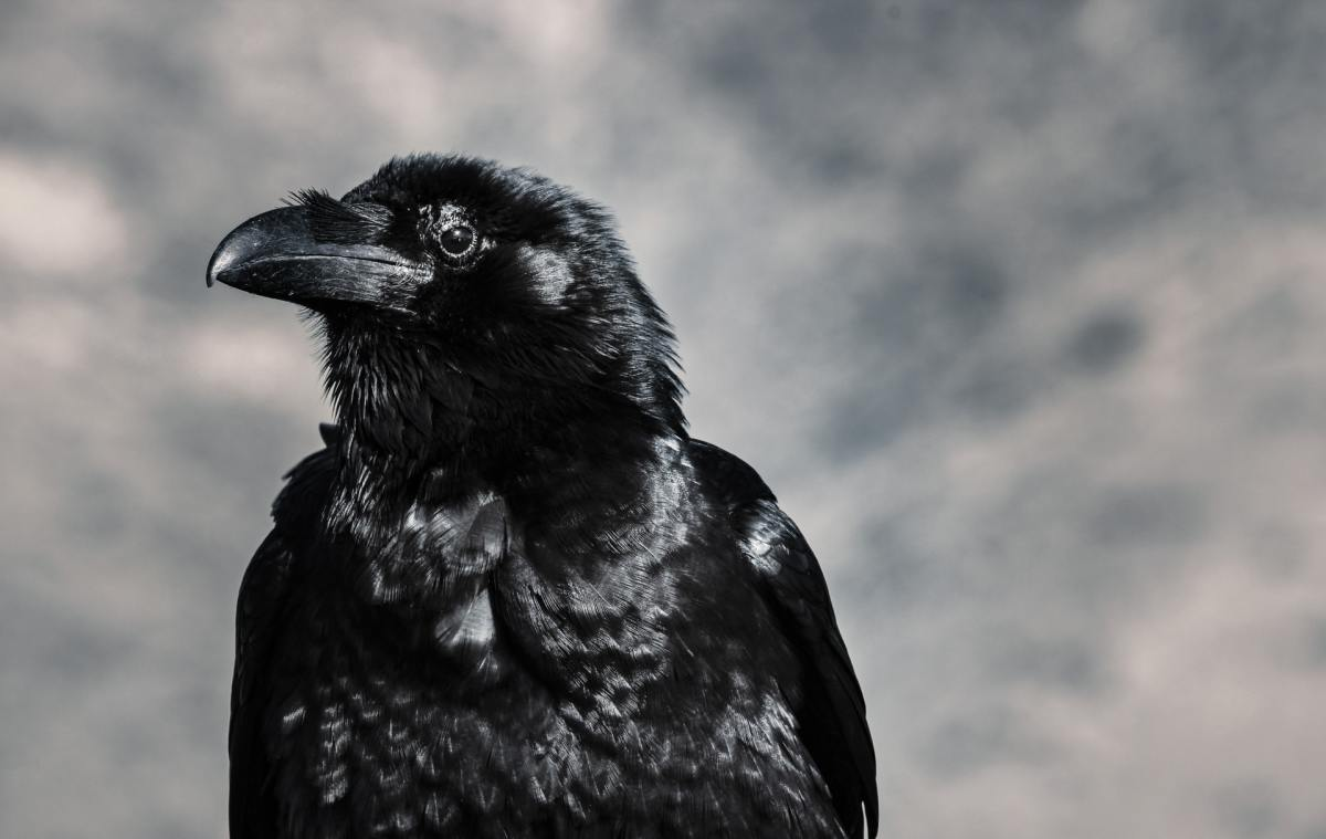 A raven is a very common symbol in foreboding.