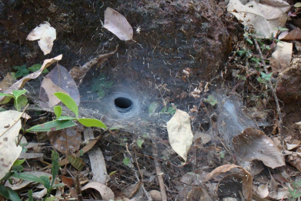 You can find Sydney funnel-web spiders living in silken webs constructed either underground or within hollow trees. Most of the time they are found in moist habitats within forest areas. They rush out when any prey lands on their web.
