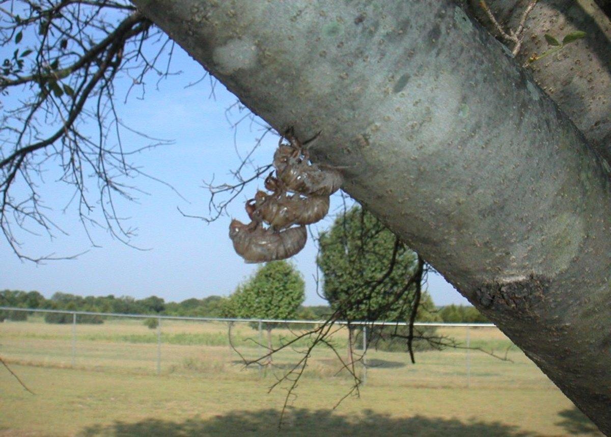 A triple-decker exoskeleton of cicada hulls.