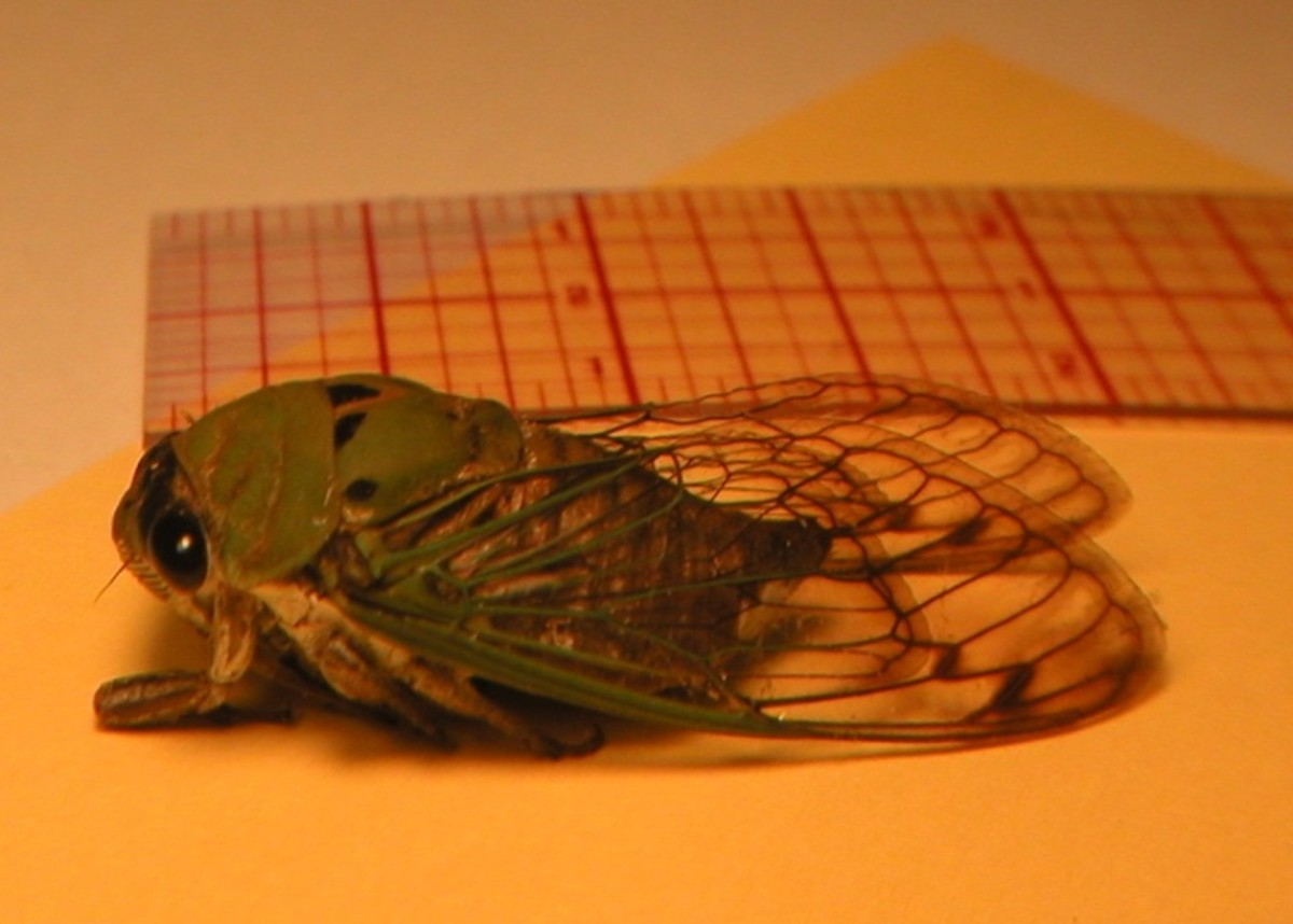 Cicadas measure from three quarters of an inch long to around two and a quarter inch.